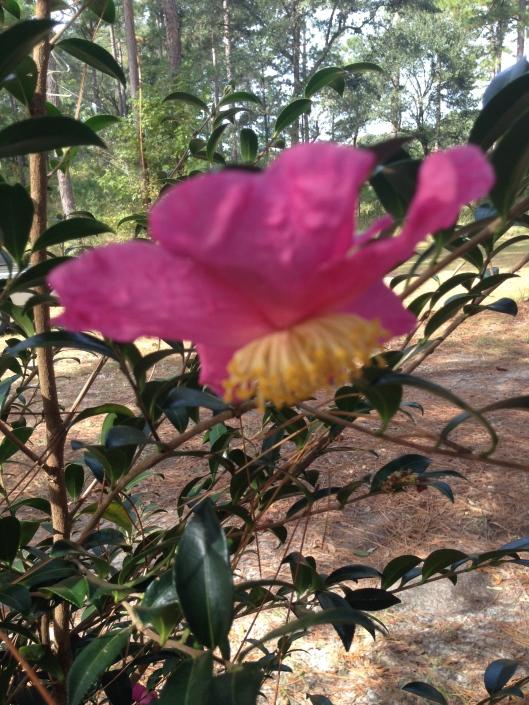 christmas camellia...