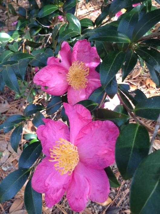or yuletide camellia..