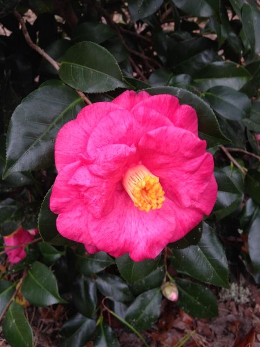 camellia japonica #1