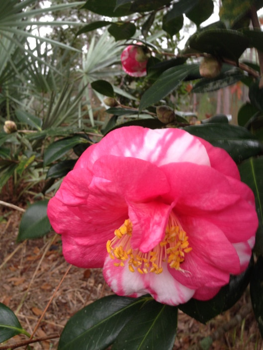 camellia japonica #5