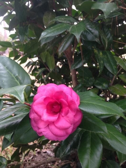 camellia japonica #8