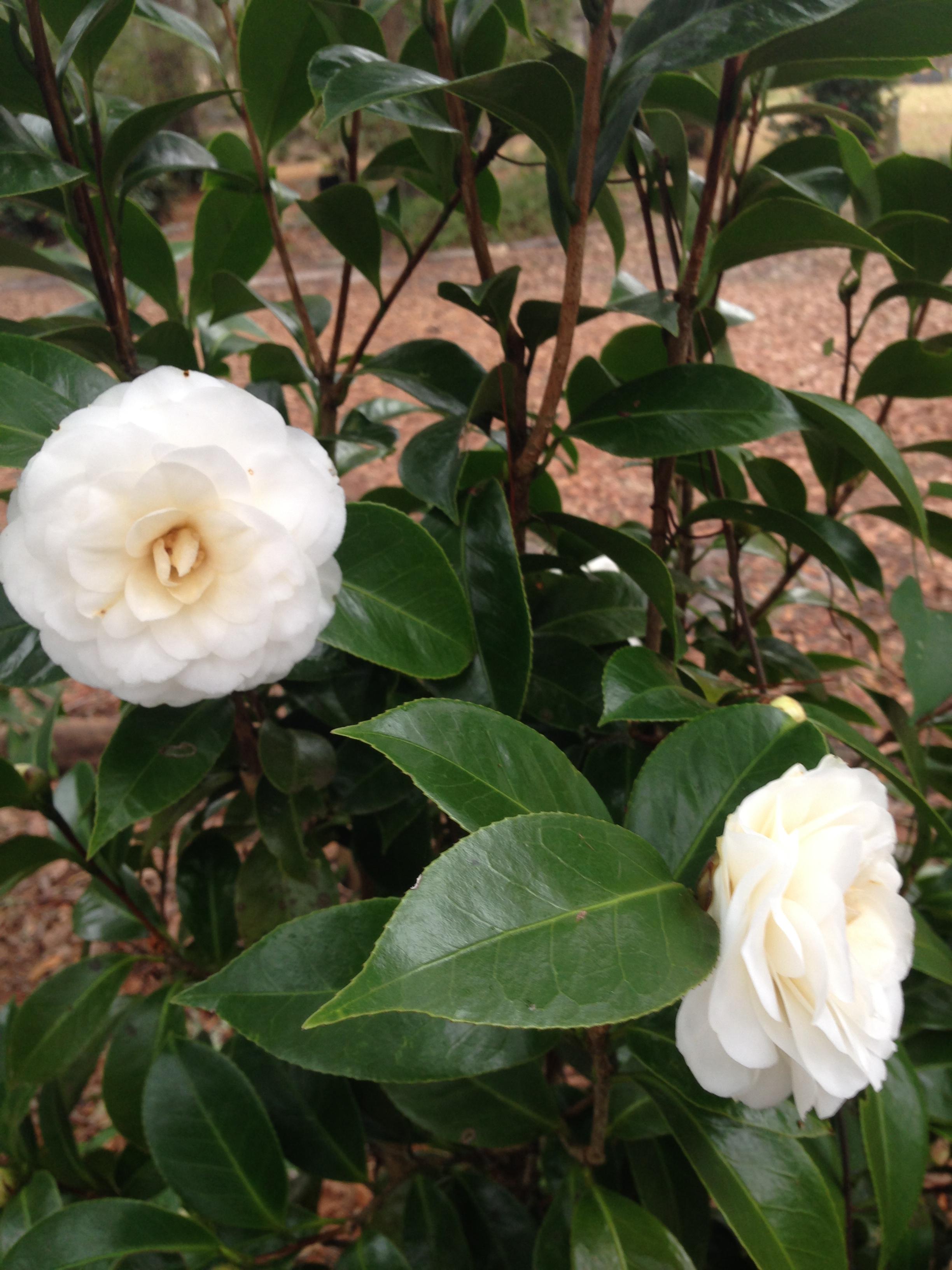 camellia japonica #4