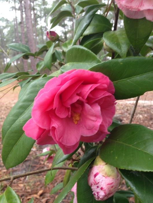 camellia japonica #7