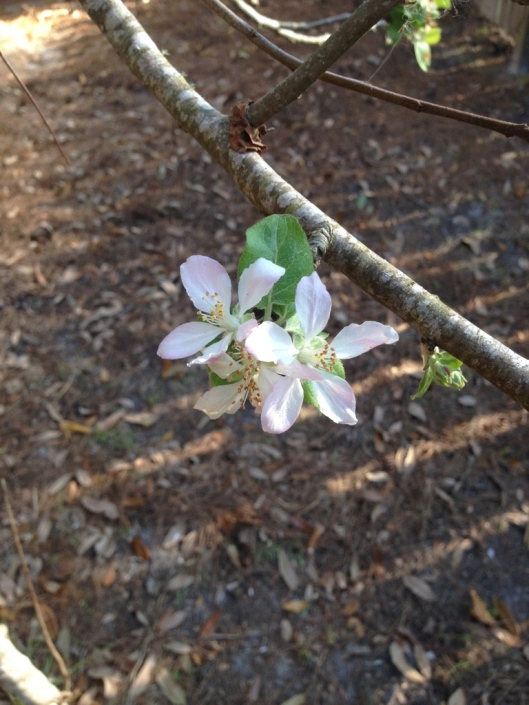 just because it's spring and I love apple blossoms...